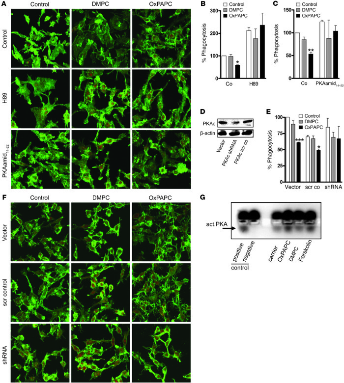 PKA activation mediates OxPAPC-associated cell spread and inhibition of ...