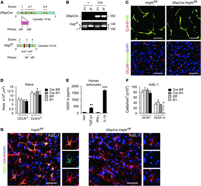 Efficient inactivation of VEGF-A in the inflamed CNS in GfapCre:Vegfafl/...