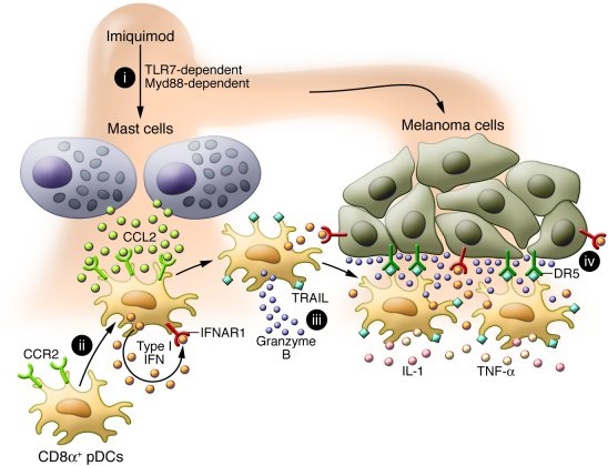 Mechanism of imiquimod-mediated tumor cell killing by pDCs. (i) Skin app...