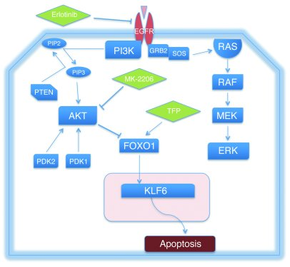 The EGFR/AKT/FOXO1/KLF6 signaling axis and associated inhibitors utilize...