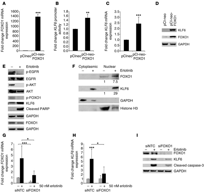 Activated EGFR signaling regulates KLF6 expression via the transcription...