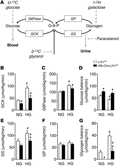 Reduced hepatic glucokinase and glycogen synthase fluxes in Alb-Cre;Lrh1...