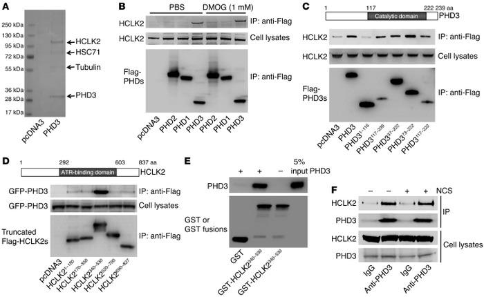 PHD3 interacts with HCLK2. (A) Flag-PHD3 immunoprecipitated from HeLa ce...