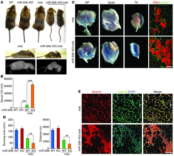 Analysis of the more severe dystrophic phenotype of miR-206–KO;mdx mice....