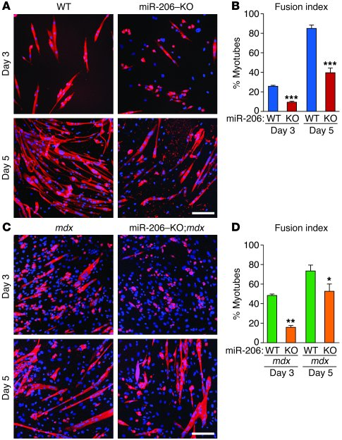 miR-206 regulates SC differentiation. (A) WT and miR-206–KO SCs were cul...