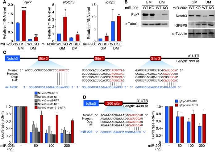 miR-206 regulates expression of target genes involved in SC proliferatio...