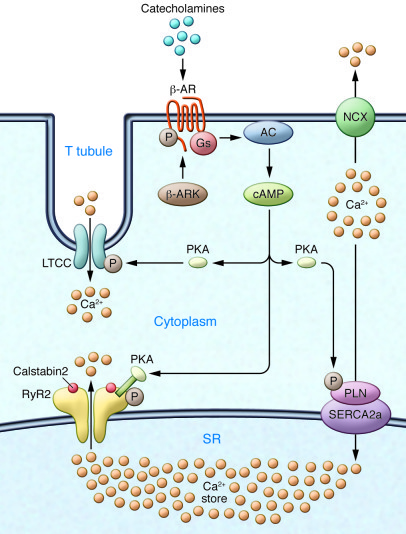 Ca2+ cycling in cardiomyocytes and regulation by PKA.   EC coupling in t...