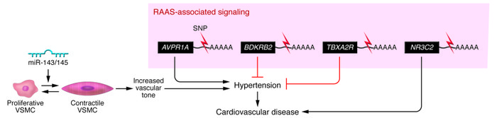 miRNA regulation of blood pressure. Pathological changes in vascular ton...
