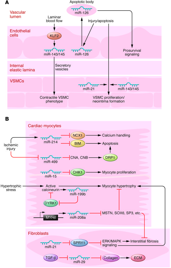 miRNAs in cardiovascular pathology. (A) miRNAs in endothelial cells act ...