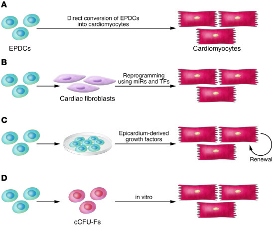 The normal roles that epicardium and epicardial-derived cells (EPDCs) pl...