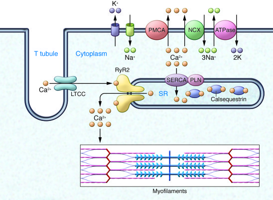 Molecular basis for intracellular Ca2+ homeostasis.   Illustration of T ...