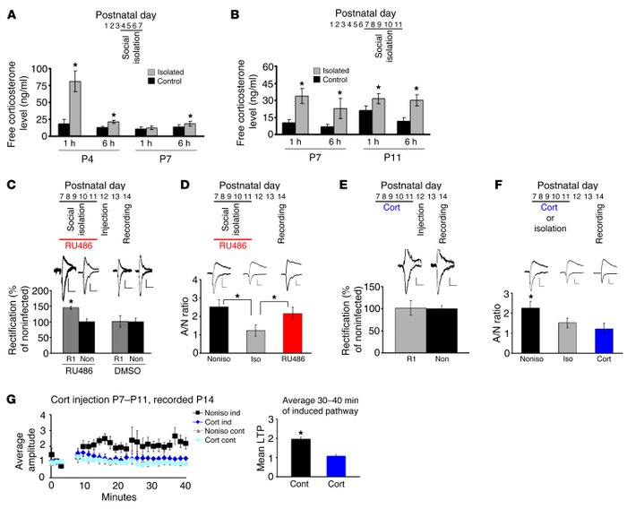 Increased glucocorticoid mediates synaptic plasticity disruption by isol...