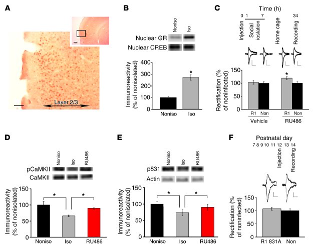 Mechanisms underlying isolation-induced disruption of synaptic AMPA rece...