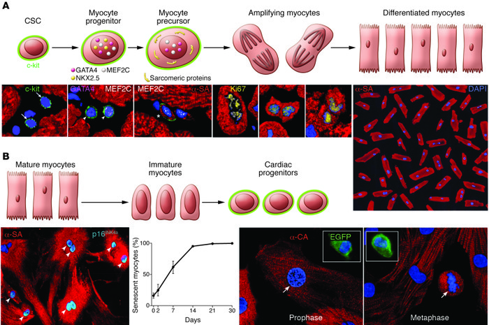 Cellular mechanisms of myocardial homeostasis. (A) Lineage relationship ...