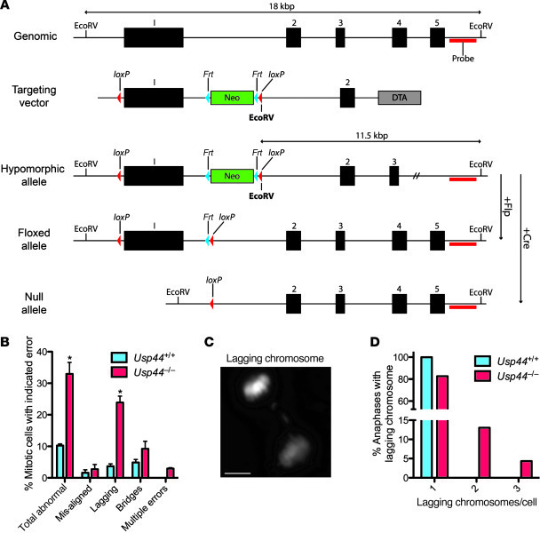USP44 loss leads to chromosome mis-segregation. (A) Strategy for targeti...