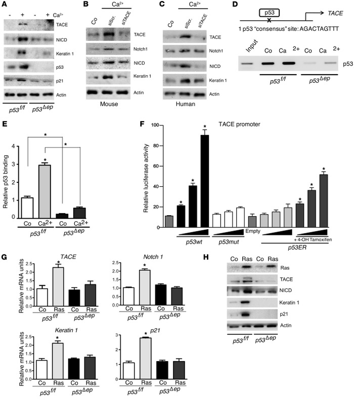 p53 induces TACE expression to promote keratinocyte differentiation.   (...