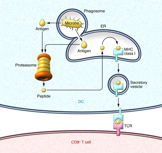 Cross-presentation pathway by antigen-presenting cells. DCs or macrophag...