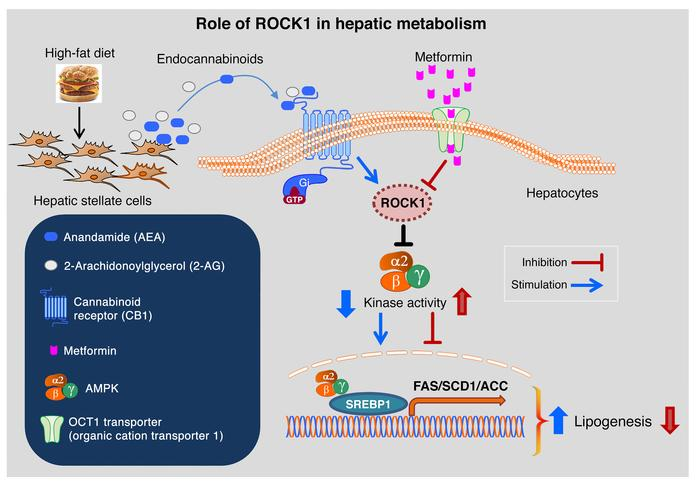 Proposed model for a role of ROCK1 in hepatic metabolism. Upon high-fat ...