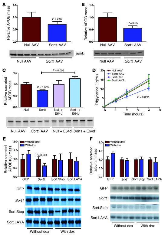 SORT1 expression reduces APOB secretion in a lysosome-dependent manner....