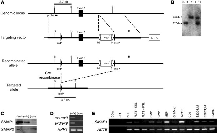 Establishment of Smap1-targeted mice and SMAP1 expression.   (A) Physica...