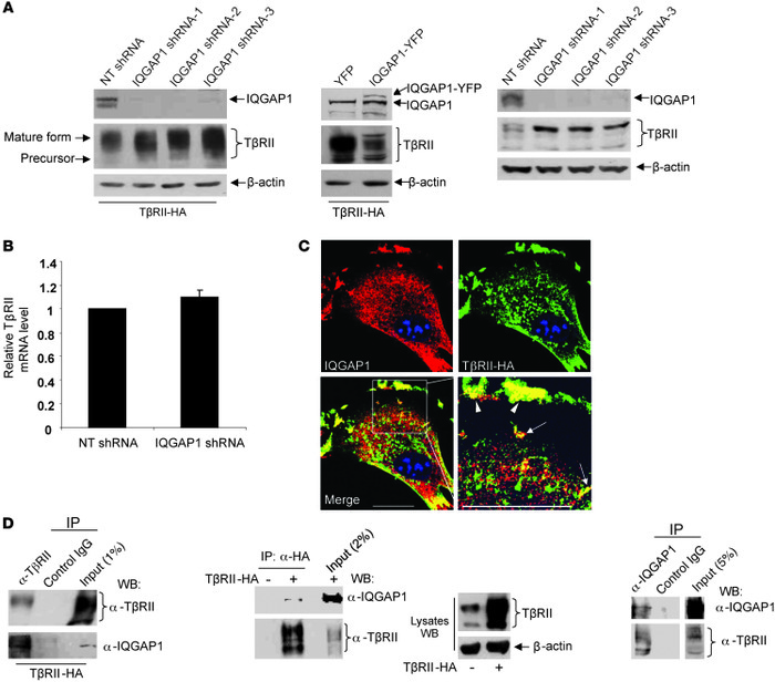 IQGAP1 interacts with TβRII and regulates its stability. (A) Left: HSCs ...