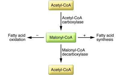 Regulation of malonyl-CoA determines the switch between fatty acid synth...