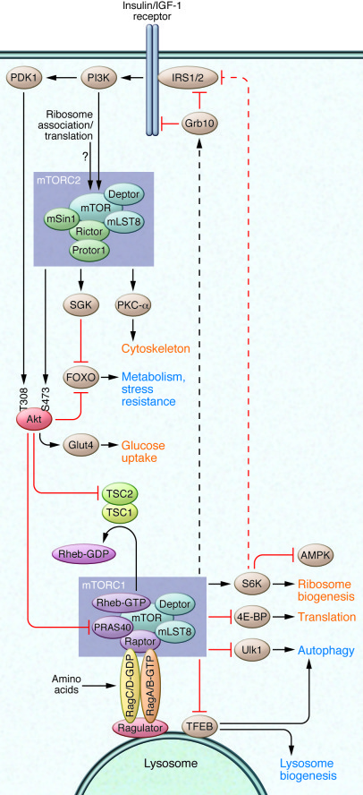 mTOR signaling. mTOR is found in two complexes, mTORC1 and mTORC2. mTORC...