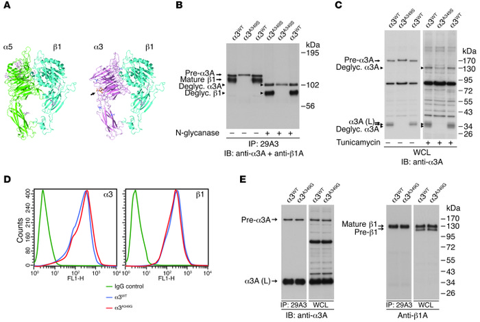The α3A349S mutation introduces a glycosylation motif that impairs heter...