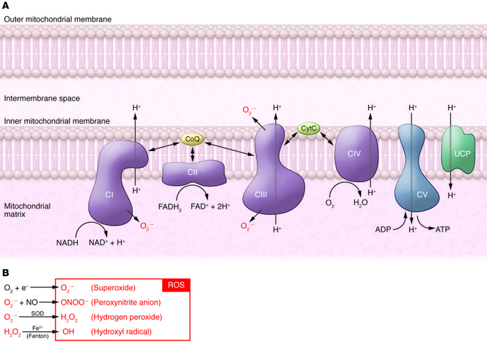 Schematic model of the oxidative phosphorylation system and the producti...