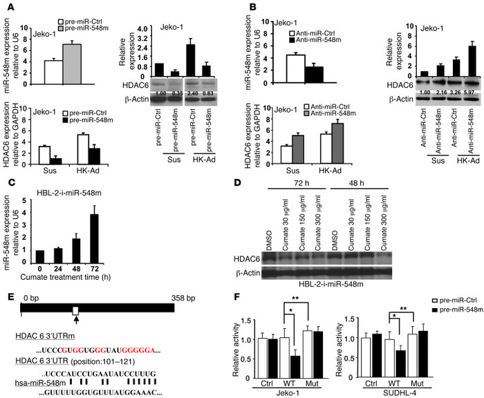 HDAC6 is a direct target of miR-548m, and cell adhesion–mediated HDAC6 i...