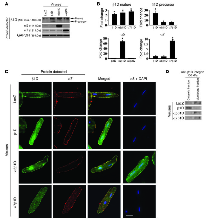 Combined expression of integrin α and β subunits is required for highest...