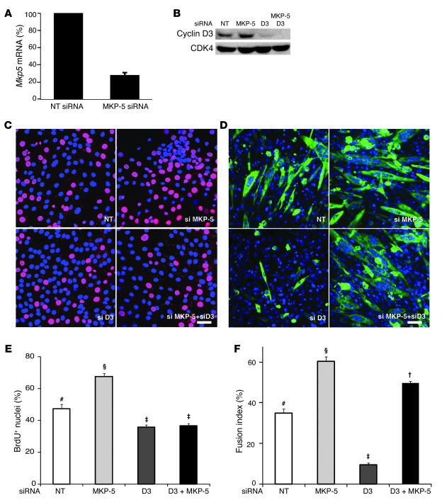 Effect of MKP-5 and cyclin D3 on myoblast proliferation and differentiat...