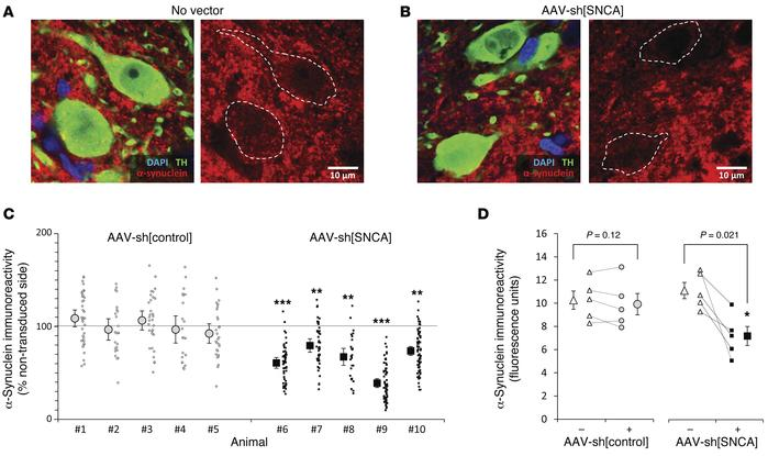 AAV-sh[SNCA] reduces α-synuclein expression in substantia nigra dopamine...