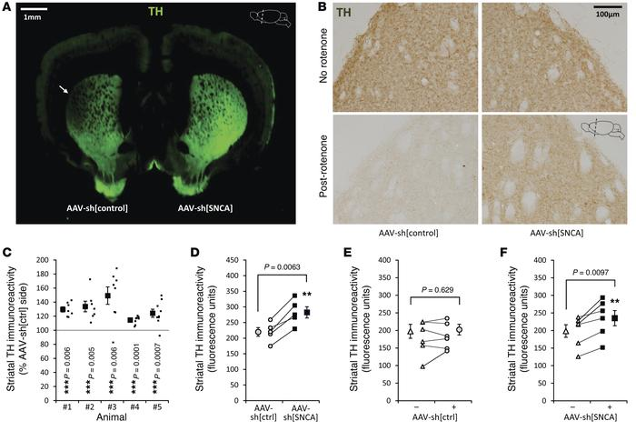 α-Synuclein knockdown protects striatal dopaminergic terminals in the ro...