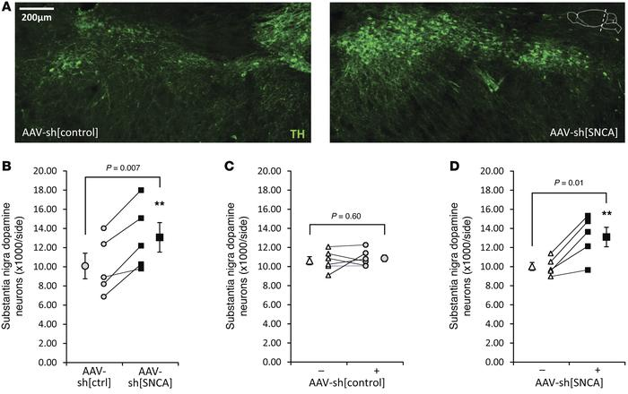 α-Synuclein knockdown protects substantia nigra dopaminergic neurons in ...