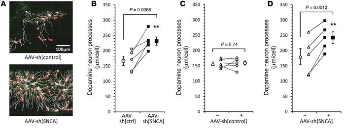 α-Synuclein knockdown protects substantia nigra dopaminergic neuron proc...