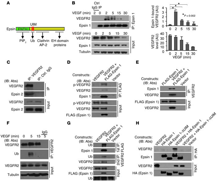 VEGF induces VEGFR2 ubiquitination and binding to epsins 1 and 2, and in...
