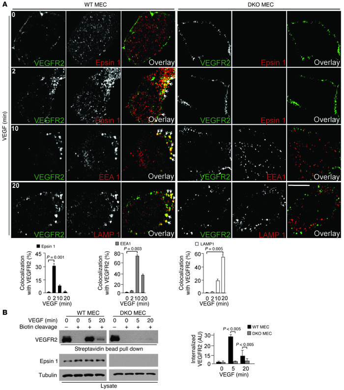 Lack of endothelial epsins 1 and 2 impairs VEGF-induced VEGFR2 endocytos...