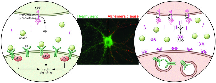 Aβ oligomers remove IRs from the neuronal surface membrane. A composite ...