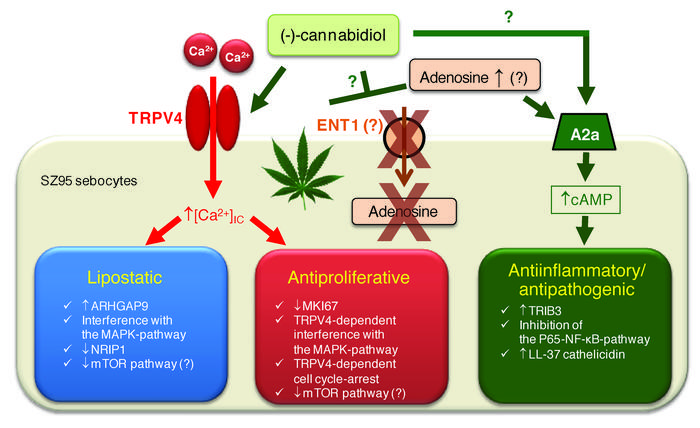 "Schematic overview of the cellular ""anti-acne trinity"" of CBD and its pr..."