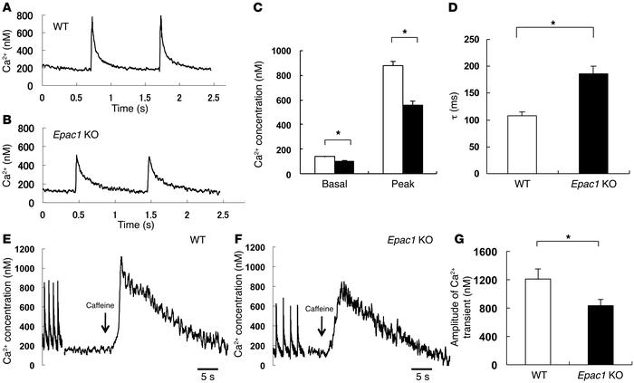 Ca2+ transient of adult isolated cardiac myocytes from Epac1 KO. (A and ...