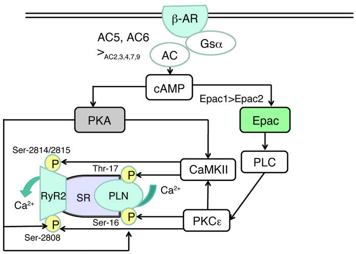 A schematic model of cAMP/EPAC signaling as opposed to cAMP/PKA signalin...
