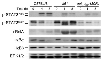 Classical IL-6 signaling and IL-6 trans-signaling activate different pat...