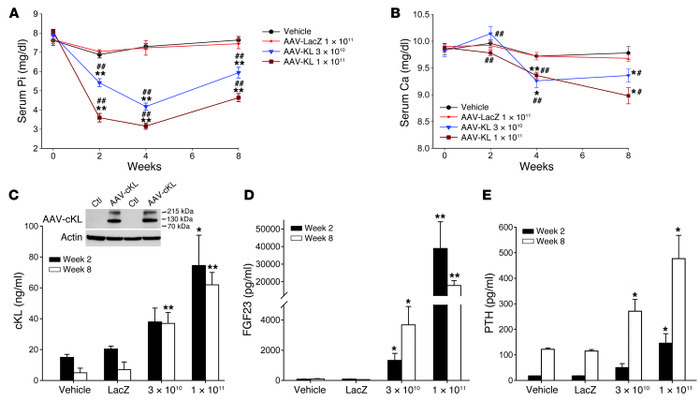 Biochemical and endocrine effects of AAV-cKL in vivo. (A) Mice treated w...