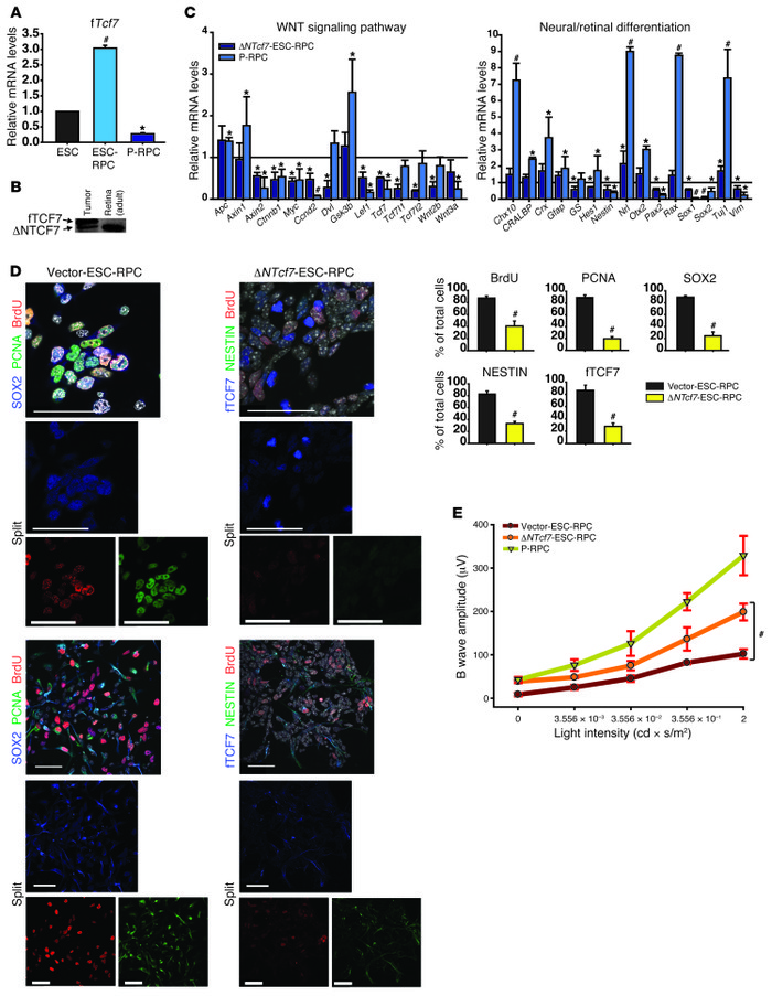 TCF7 mediates functions of WNT signaling in transplanted ESC-RPCs. (A) T...