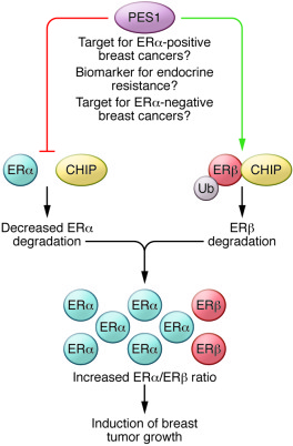 A model of PES1 activity in breast cancer. PES1 promotes mammary tumor g...