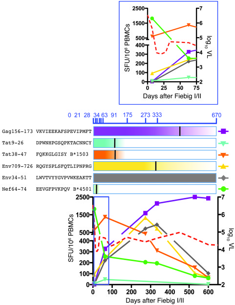 Shifting immunodominance of CD8+ T cell responses induced in early HIV-1...