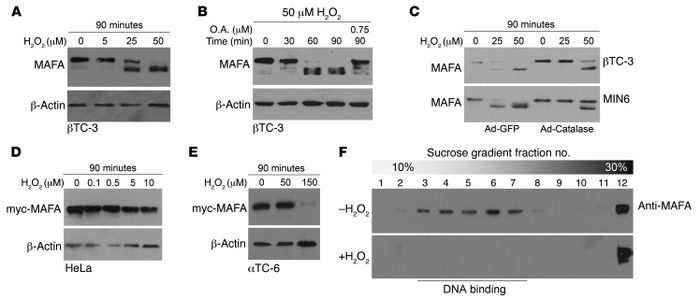 H2O2 treatment induces MAFA dephosphorylation in βTC-3 cells but not in ...
