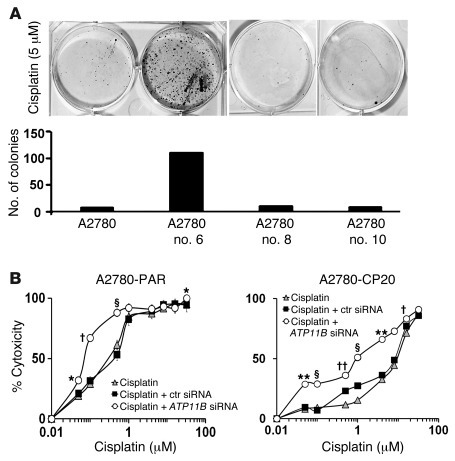 ATP11B affects cisplatin sensitivity of ovarian cancer cells. (A) A2780-...
