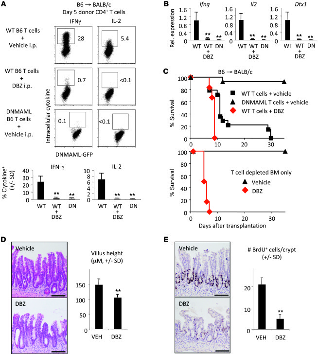 Efficient Notch inhibition in alloreactive T cells but severe intestinal...